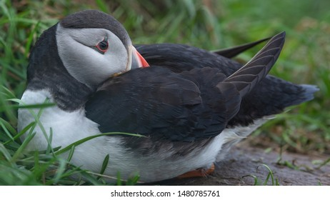Atlantic puffin also know as common puffin is a species of seabird in the auk family. North-west and East Iceland are known to be large colony of this puffins. Can be seen in Iceland from June until A