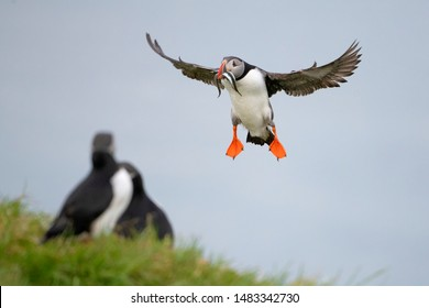 Atlantic puffin also know as common puffin is a species of seabird in the auk family. at Iceland, Atlantic puffin with sand eels in its beak, flying, feeding, and perched on a rock,