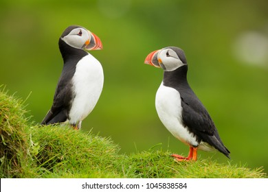 アトランティック・プフィンは、一般的なフフィンとも呼ばれ、オウク科の海鳥の一種である。彼のパフィンは黒い王冠と背中、薄い灰色の頬のパッチと白い下部を持っている。