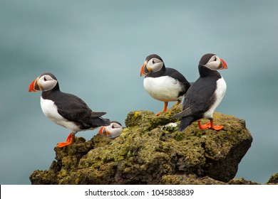 Atlantic puffin , also known as the common puffin, is a species of seabird in the auk family. his puffin has a black crown and back, pale grey cheek patches and white underparts.