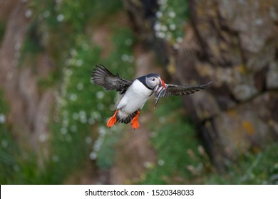 Atlantic puffin also known as common puffin is a species of seabird in the auk family. at Iceland, Atlantic puffin with sand eels in its beak, flying, feeding, and perched on a rock,
