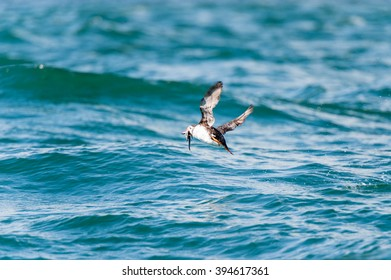 Atlantic Puffin in motion catching a fish in flight, Mingan, North shore of  Quebec, Canada -