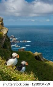 Atlantic puffin in natural habitat, Fratercula arctica