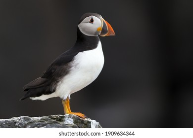 Atlantic puffin set against a black background