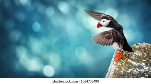 Atlantic Puffins bird or common Puffin in ocean blue background. Fratercula arctica. Norway most popular birds.