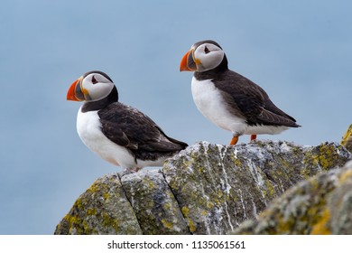 Atlantic Puffins (Fratercula arctica), standing on the cliff at Isle of May
