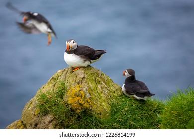 Atlantic Puffins at Mykines, Faroe Islands, Europe