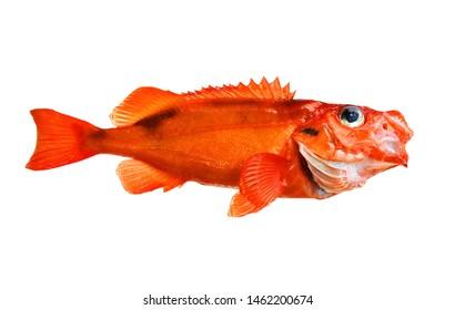 Atlantic redfish, (Sebastes fasciatus) isolated on white, fish of Greenland