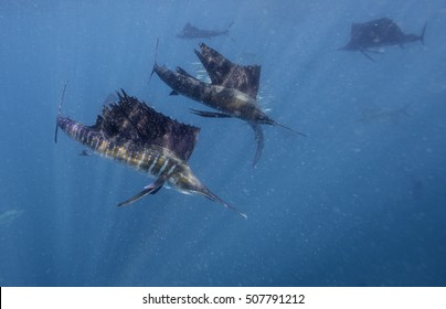 Atlantic sailfish feeding on sardines they have trapped against the surface. Caribbean Sea just outside Cancun, Mexico.