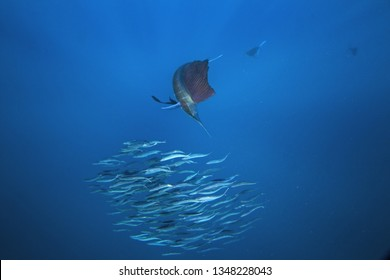 Atlantic sailfish, istiophorus albicans, Mexico