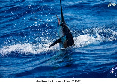 An Atlantic Sailfish poking it's blue, gold, and white head through the crystal clear waters of Jupiter, Florida.