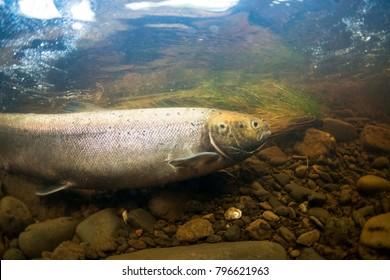 Atlantic salmon in river