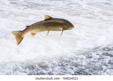 Atlantic salmon (Salmo salar) jumping over a weir on the River Severn in Shropshire, England.