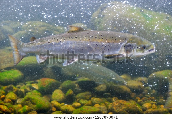 The Atlantic salmon (Salmo salar) is a species of ray-finned fish in the family Salmonidae. Underwater picture in wild fresh water rivers. Norway.