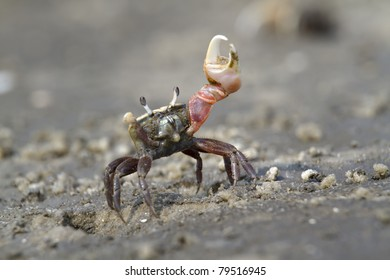 Atlantic sand fiddler crab (Uca pugilator) dancing (Jekyll island, Georgia).