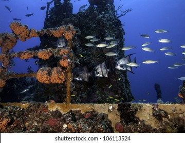 Atlantic Spadefish swimming on the coral encrusted shipwreck USCG Duane in Key Largo, Florida in the John Pennekamp State Park.