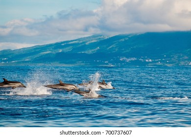 Atlantic striped dolphin (Stenella coeruleoalba) swimming near to the coast of Pico Island in the Azores.