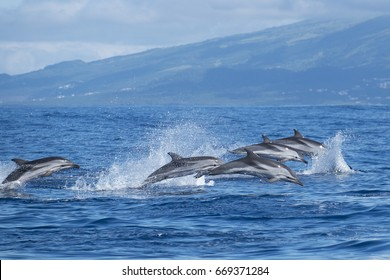 Atlantic striped dolphins near the Azores