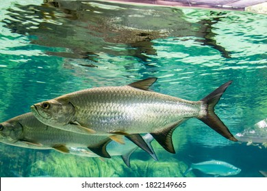 The Atlantic tarpon (Megalops atlanticus) is a ray-finned fish which inhabits coastal waters, estuaries, lagoons, and rivers. It is found in the Atlantic Ocean.