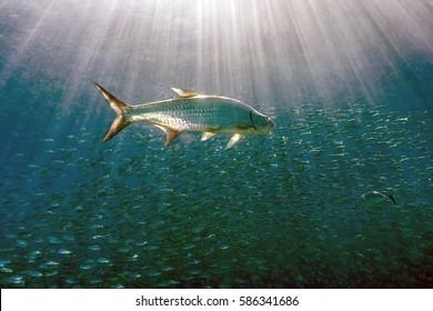 Atlantic tarpon,Megalops atlanticus, inhabits coastal waters, estuaries, lagoons, and rivers.