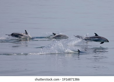 Atlantic white sided dolphins in Casco Bay, off of Portland, Maine.