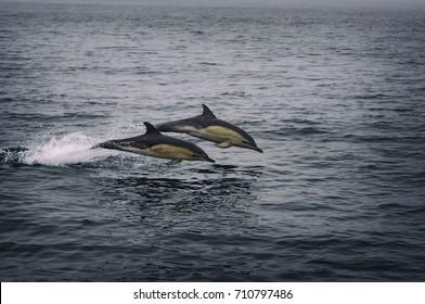 Atlantic white sided dolphins off the west coast of Ireland.