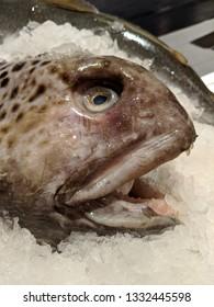 Atlantic Wolffish on ice - closeup