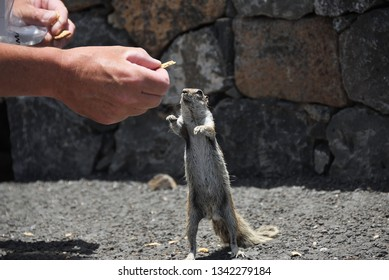 Atlantoxerus getulus. Barbary ground squirrel eating a piece of chips from the hand. It is the most famous animal on Fuerteventura, Canary Island. Spain