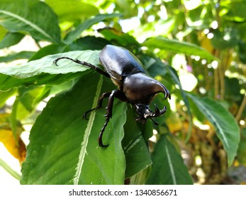 The atlas beetle is resting on the branches.
