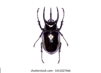 Atlas beetle (Scientific name : Chalcosoma atlas) , famous exotic pets, found in Southeast Asia. The species is named for Atlas, the giant of Greek mythology who supported the skies. Isolated on white