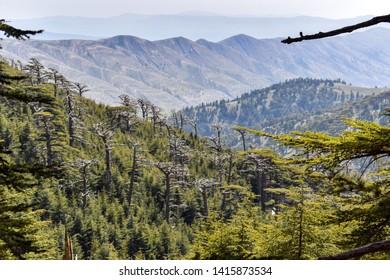 Atlas Cedar Forest in Mount Chelia in the Aures mountains in Algeria