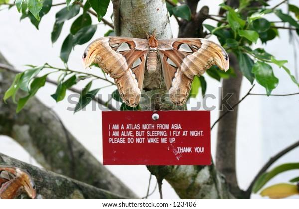 Atlas Moth from asia