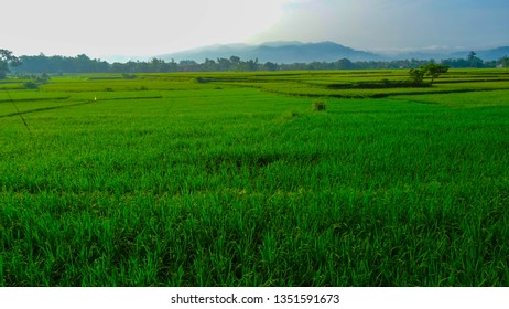 The atmosphere of the morning in margasari rice fields in Indonesia.