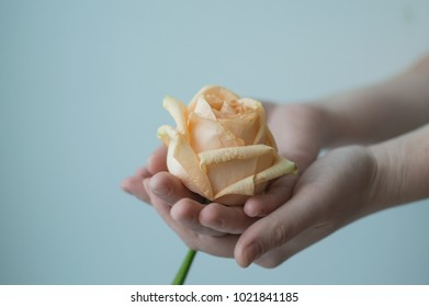 Atmospheric toned photo of the feamale hands holding withering rose on the color background. Care concept.