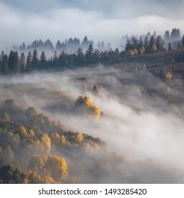 Atrist Misty Autumn landscape with fir forest and yellow maple trees, aerial view, autumnal season in  mountains valley