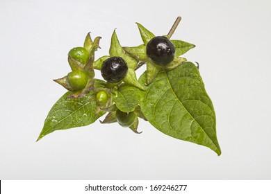atropa belladonna ,