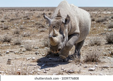 Attack from a black rhino in the direction of our car. He failed. In Etosha National Park in Namibia