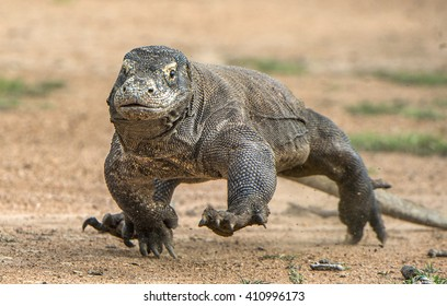 Attack of a Komodo dragon (Varanus komodoensis) running on sand. It is the biggest living lizard in the world, Indonesia. Island Rinca