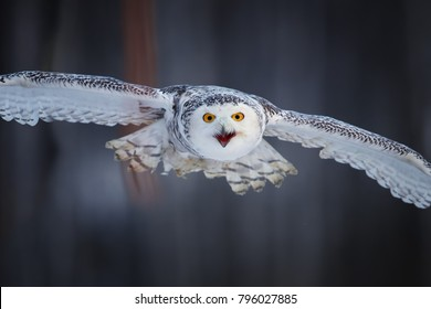 Attacking Snowy owl Bubo scandiacus from direct view. Portait of famous white owl with black spots and bright yellow eyes, flying directly at camera.  Animal action scene, Finland.