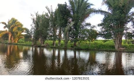 Attalea speciosa (babassu, babassu palm, babaçu, cusi) on the edge of a lake. The babassu palm is the predominant species in the Maranhão Babaçu forests of Maranhão state.