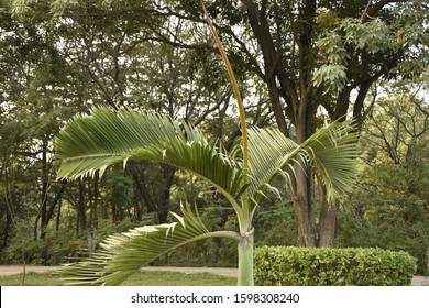 Attalea Speciosa Images Stock Photos Vectors Shutterstock Considerable diversity has been observed in the uses of the palm species attalea speciosa mart. https www shutterstock com image photo attalea speciosa photos hyderabad 1598308240