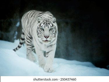 Attention in eyes of a white bengal tiger, walking on fresh snow in winter forest. The most beautiful animal and very dangerous beast of the world. Animal portrait on rocky background.