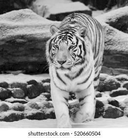 Attention in eyes of white bengal tiger, walking on fresh snow in winter forest. Black and white image.