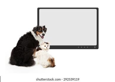 An attentive Australian Shepherd Dog looks over its shoulder.  The dog has its back to the camera while looking into the camera.
