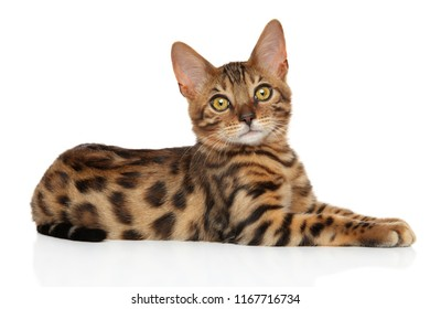 Attentive Bengal kitten resting on a white background