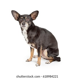 Attentive black and tan color Chihuahua Dog sitting on white background