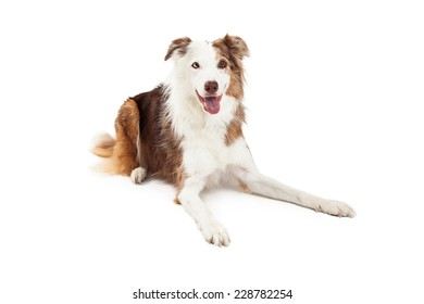 Attentive Border Collie Dog laying with outstretched legs while looking at the camera.