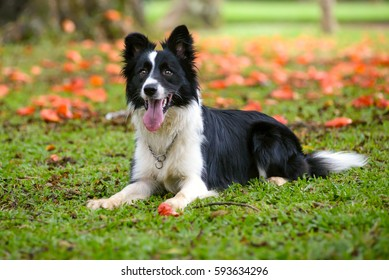 Attentive border collie dog lying down on the grass on a sunny d