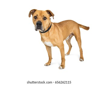 Attentive large mixed breed Boxer and Pit Bull dog standing over white