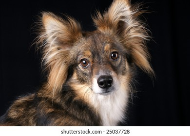 Attentive looking dog puppy over black background